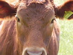cow-18618__180